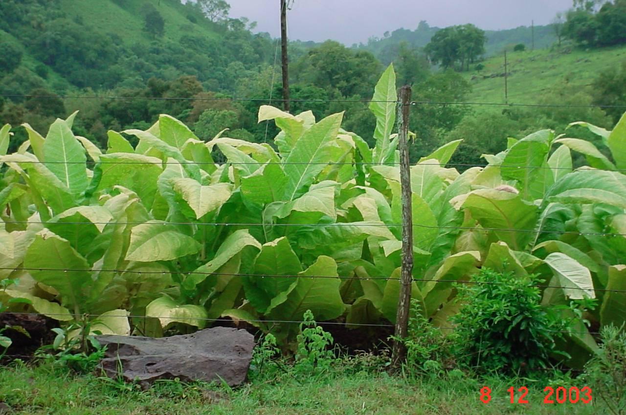 Le tabac, le biocarburant préféré par les biotechnologues